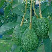 Nursery By Contacting Us At Clausen Inc In Vista Ca As Your Premeir Whole Plant We Specialize Avocado Trees Citrus
