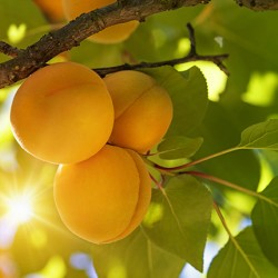 Golden Amber Apricot