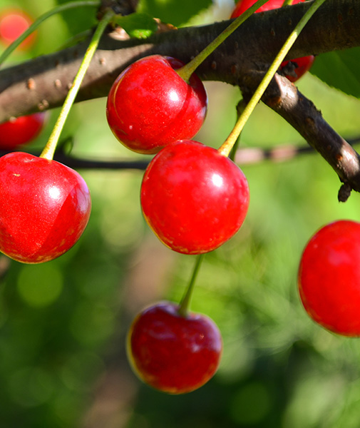 Kansas Sweet Cherry Clausen Nursery