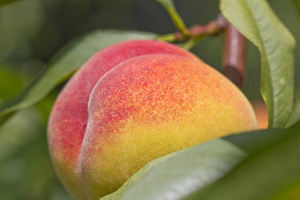 Desert Gold Peach Clausen Nursery