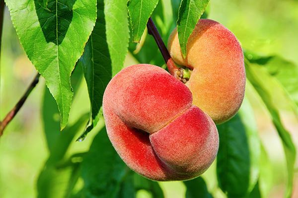 Saturn Peach Clausen Nursery