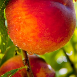 Ventura Peach Clausen Nursery