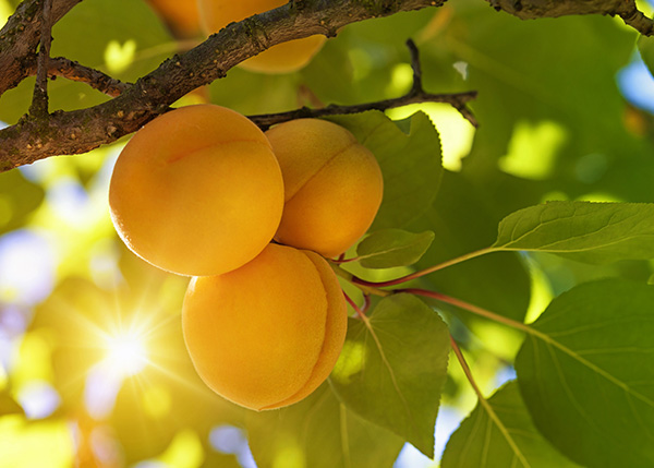 Golden Amber Apricot