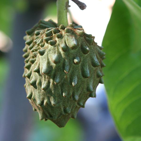 Fruit Bearing Sub-Tropical