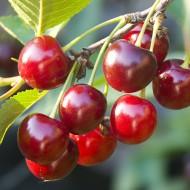 Deciduous Fruit Trees