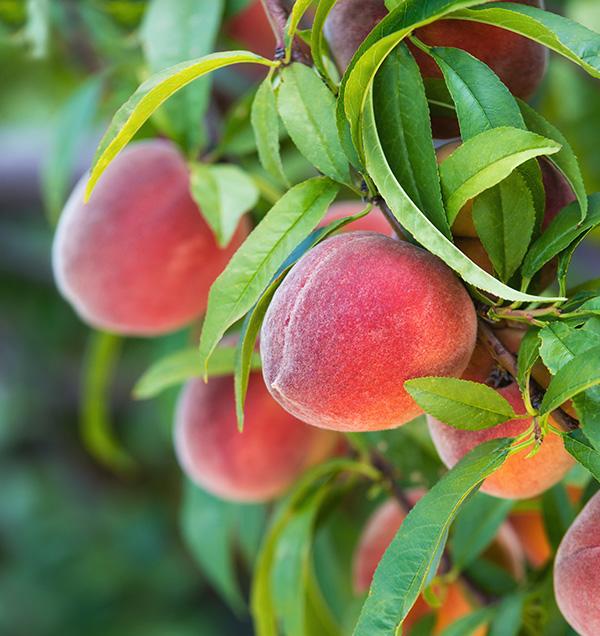 Babcock Peach Clausen Nursery