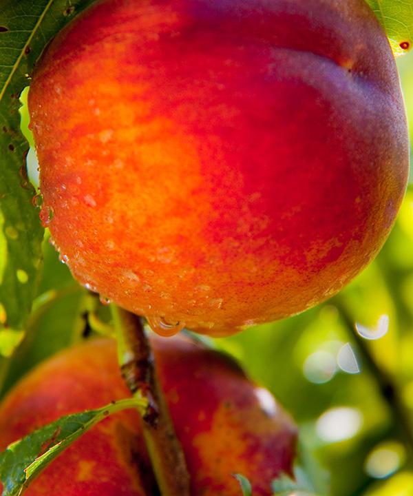 Ventura Peach Clausen Nursery