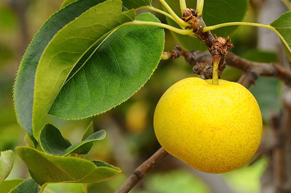Twentieth Century Asian Pear Clausen Nursery