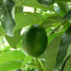 Reed Avocado