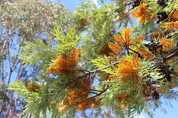 Silk Oak Tree Clausen Nursery