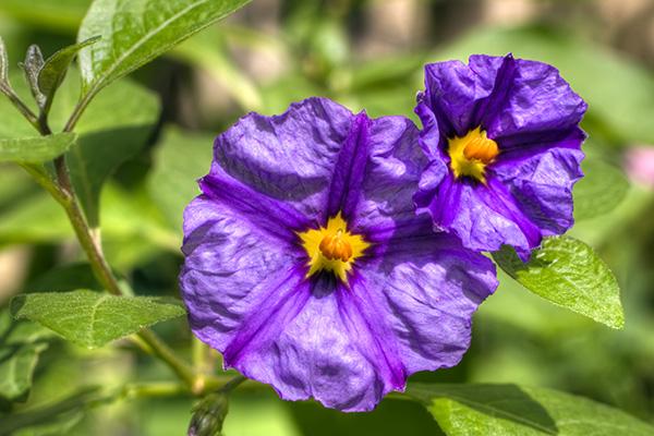 Solanum Clausen Nursery